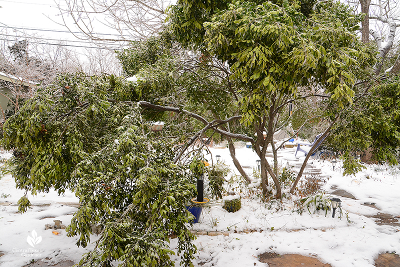Mountain laurel branches bent after Austin ice storm Central Texas Gardener