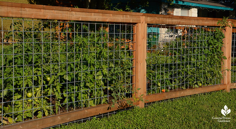 cedar and cattle panel low fence front yard tomato support Central Texas Gardener