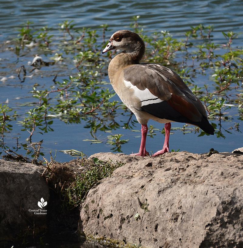 duck at Lake Park Mueller Central Texas Gardener