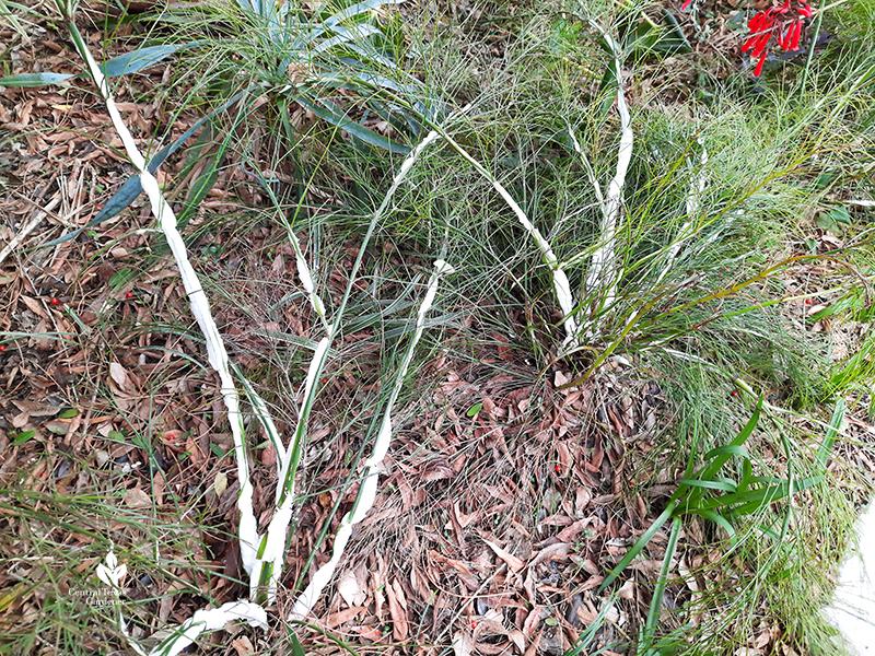 firecracker fern stem frozen split Central Texas Gardener
