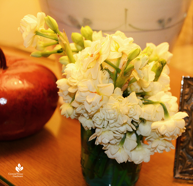 fragrant Narcissus Erlicheer and Grand Primo in vase before freezing weather Central Texas Gardener
