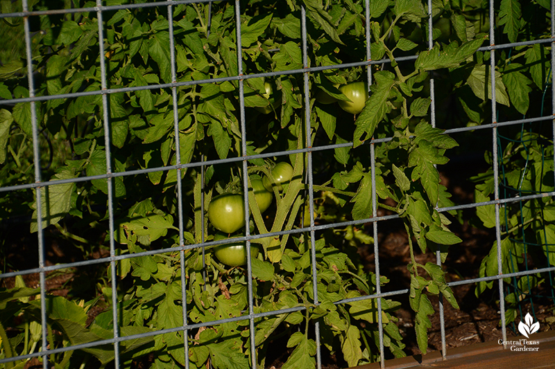 ripening tomatos cattle panel fence support Central Texas Gardener