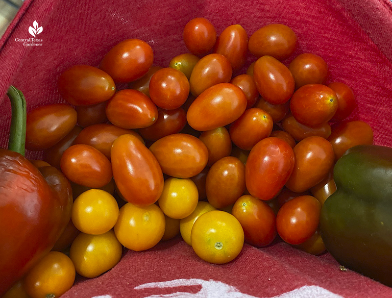 sweet cherry tomatoes Sun Gold tomatoes and peppers Central Texas Gardener