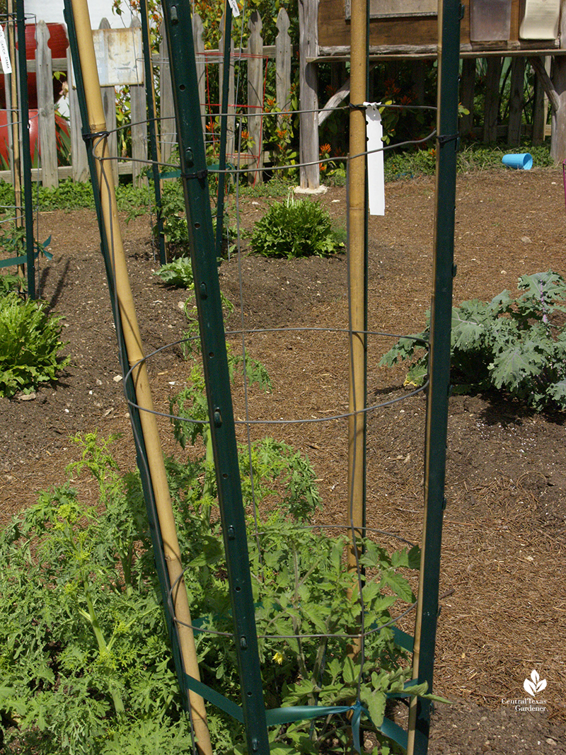 tomato cages reinforced with bamboo and T-posts The Natural Gardener