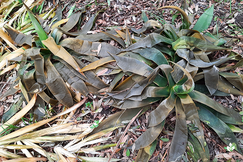 Agave celsii and Iris nada after Austin 2021 hard freeze Central Texas Gardener