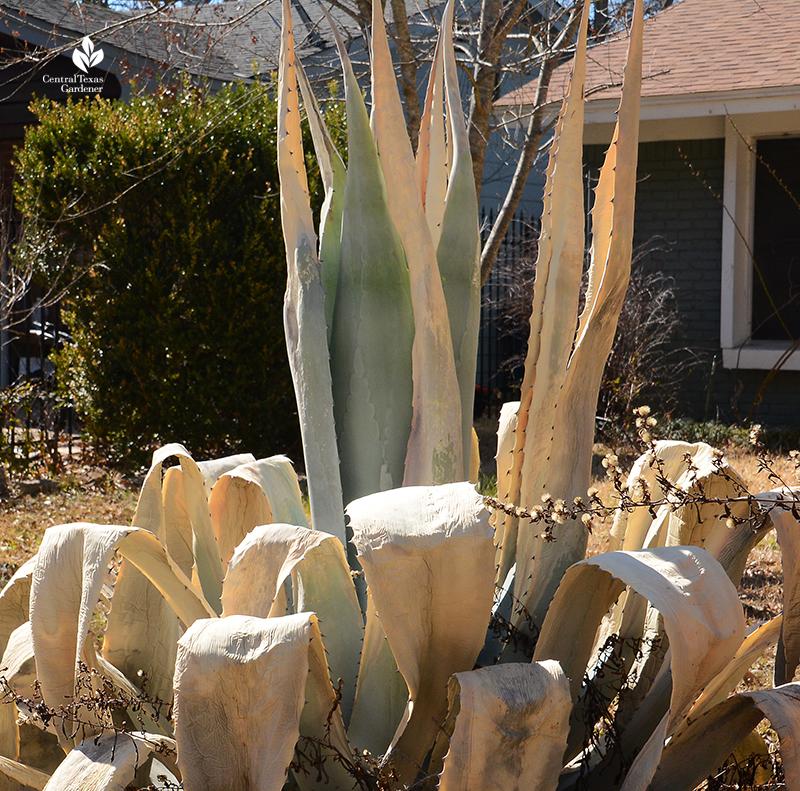 Agave freeze damage 2021 Central Texas Gardener