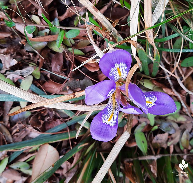 Algerian iris after Austin 2021 freeze Central Texas Gardener