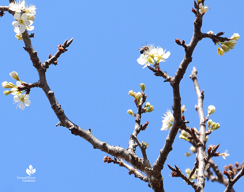 Bee on Mexican plum flower after 2021 freeze Central Texas Gardener