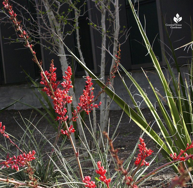 """Red yucca Hesperaloe parviflora 'Brakelights"""""""