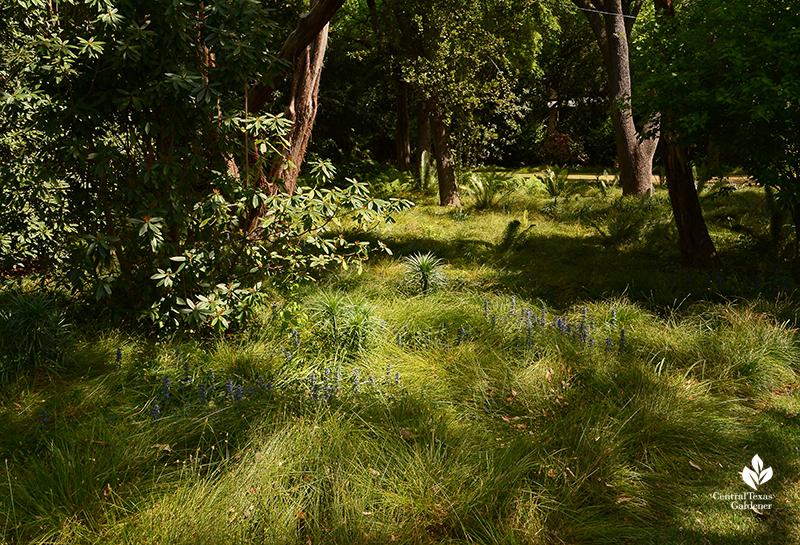 Carex leavenworthii lawn sedge for shady areas Central Texas Gardener