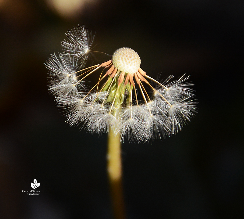 Dandelion seed heads after the freeze 2021 Central Texas Gardener