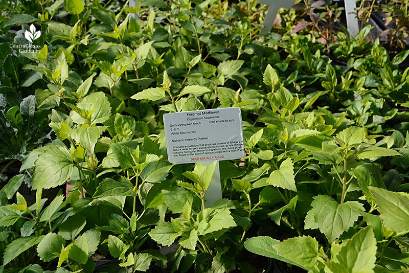 fragrant white mistflower shrubby boneset native plant