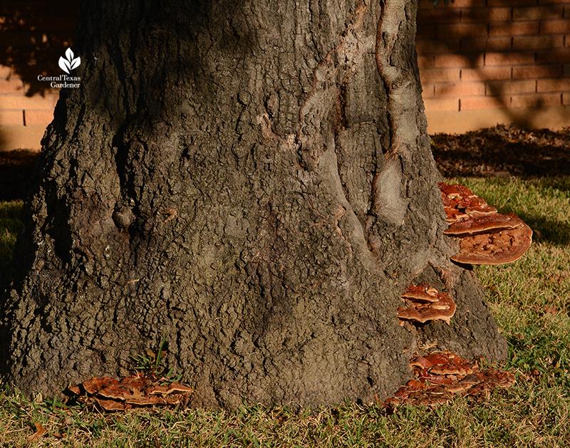 Ganoderma fungi conks on red oak tree Central Texas Gardener