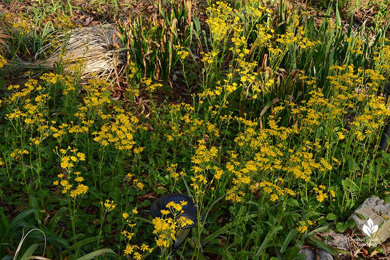 Golden groundsel Packera obovata native groundcover drought wildlife habitat Central Texas Gardener