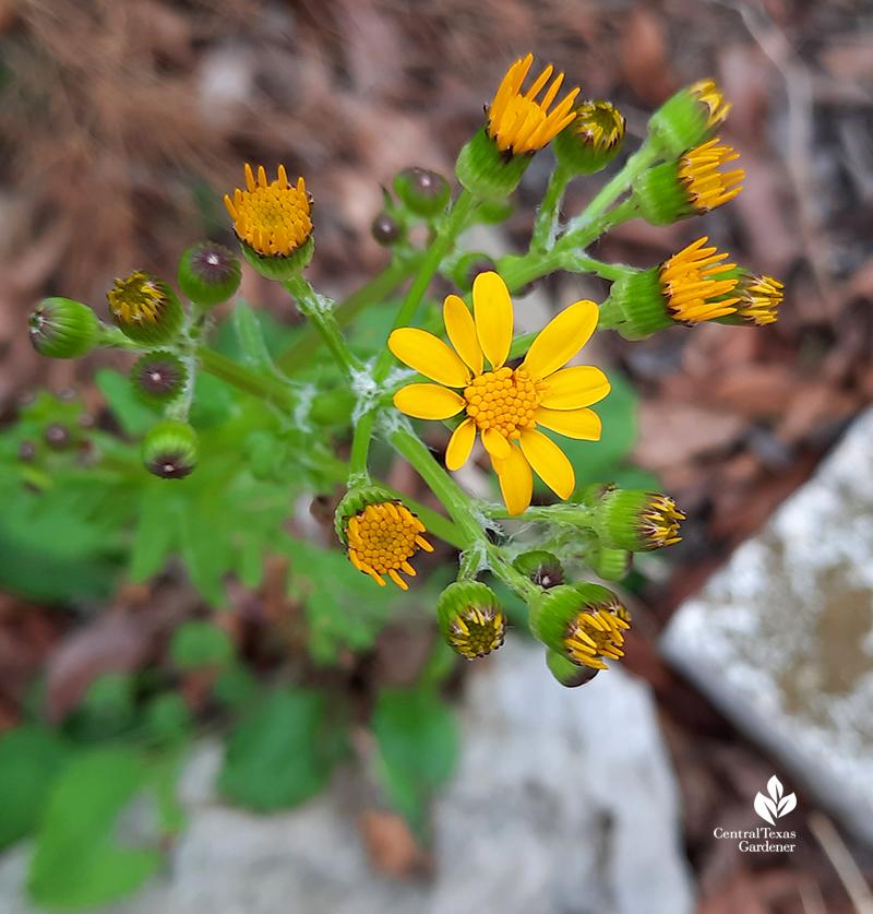 Golden groundsel Packera obovata native plant flower after extreme Austin freeze Central Texas Gardener