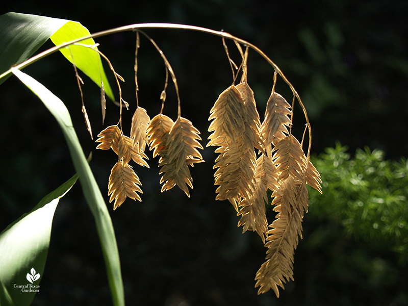 Inland sea oats native plant for shade fall seed heads Central Texas Gardener