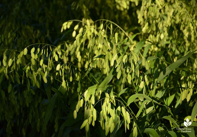 Inland sea oats native grass for shade Central Texas Gardener