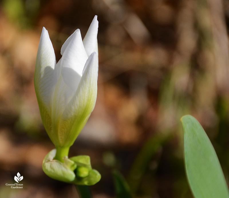Iris albicans white cemetery iris bud after Austin 2021 freeze Central Texas Gardener