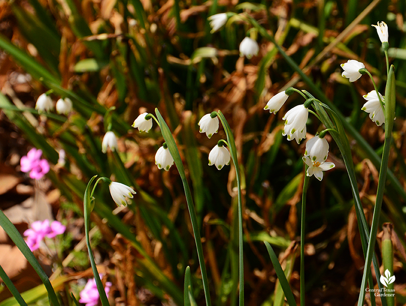 Leucojum flowers and oxalis flowers for bees after Austin 2021 freeze Central Texas Gardener
