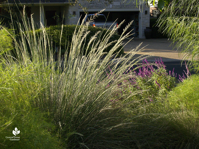 Lindheimer muhly native clumping grass fall bloom with Salvia leucantha Central Texas Gardener