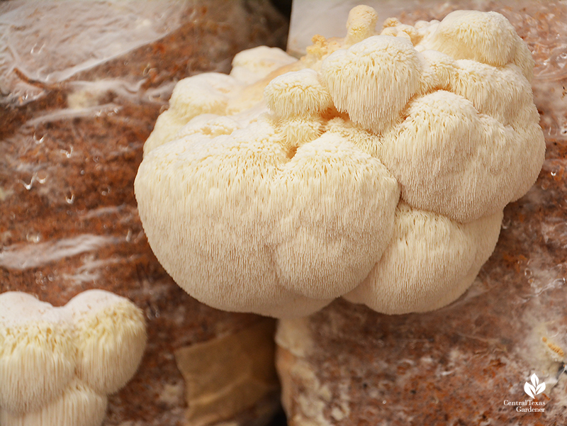 Lion's mane mushroom growing out of fruiting bag Central Texas Gardener