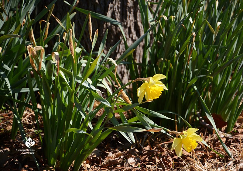 Narcissus daffodils around a tree after Austin 2021 freeze Central Texas Gardener
