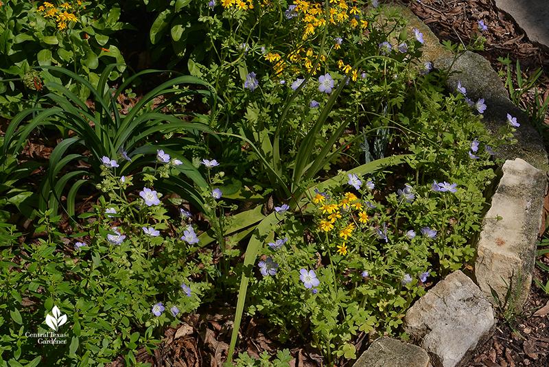 Native annual wildflower baby blue eyes perennial golden groundsel Agave bracteosa daylily 'Orange Crush' Central Texas Gardener