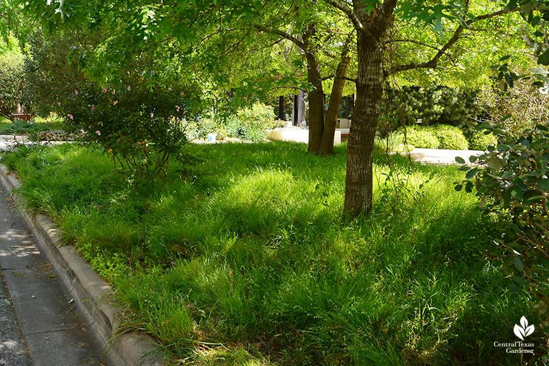 Native melic grass for shade Central Texas Gardener
