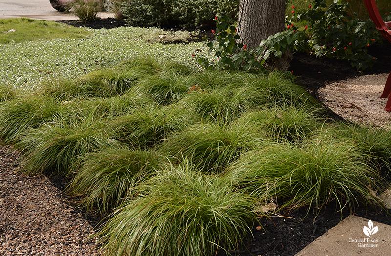Native sedge Carex retroflexa patio design part shade Central Texas Gardener