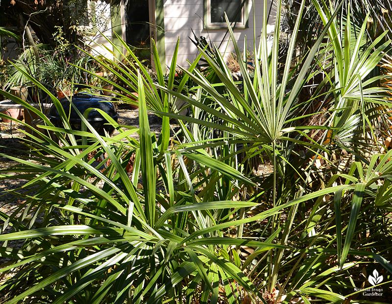 Needle palm after Austin 2021 freeze Central Texas Gardener