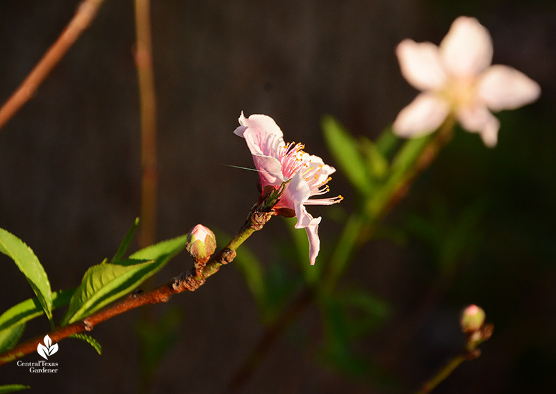 Peach tree bud and flower after Austin 2021 freeze_Central Texas Gardener