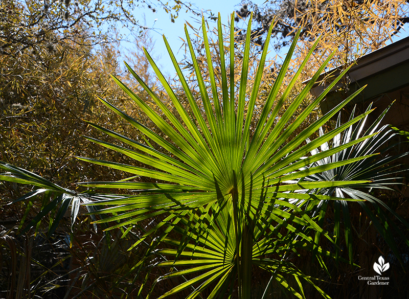 Pindo palm after Austin 2021 freeze Central Texas Gardener