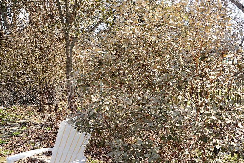 Pineapple guava after Austin 2021 freeze Central Texas Gardener