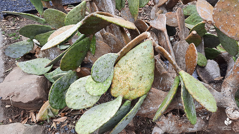 Prickly pear after Austin 2021 freeze Central Texas Gardener