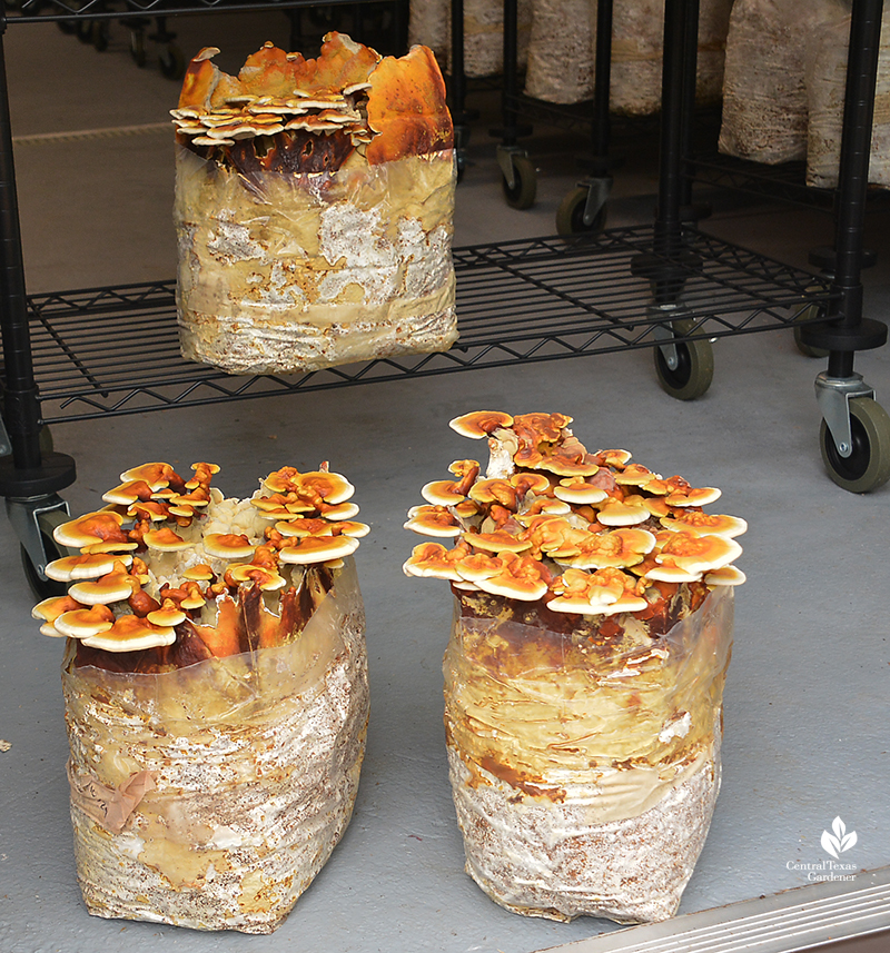 Reishi mushrooms for market Central Texas Gardener
