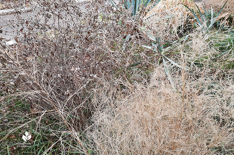 Silver bush germander and bamboo muhly after Austin 2021 freeze Central Texas Gardener