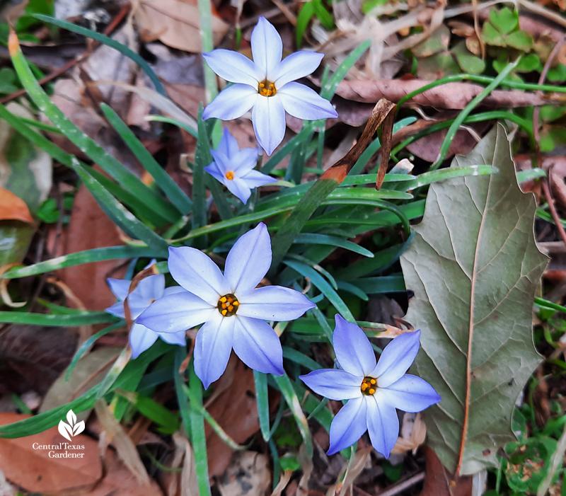 Spring starflower blooms after extreme freeze Austin 2021 Central Texas Gardener