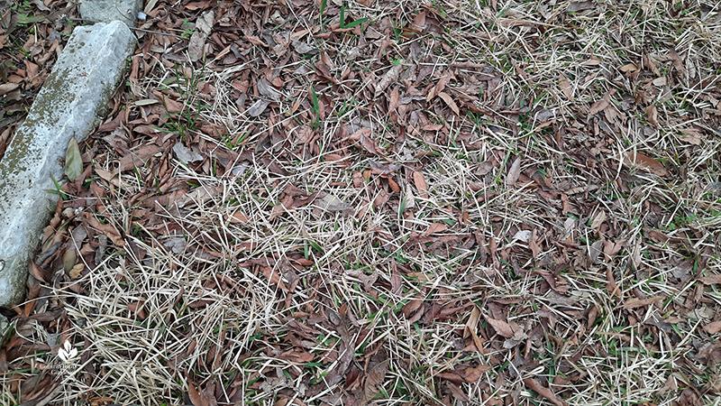 St. Augustine lawn turfgrass after Austin 2021 freeze Central Texas Gardener