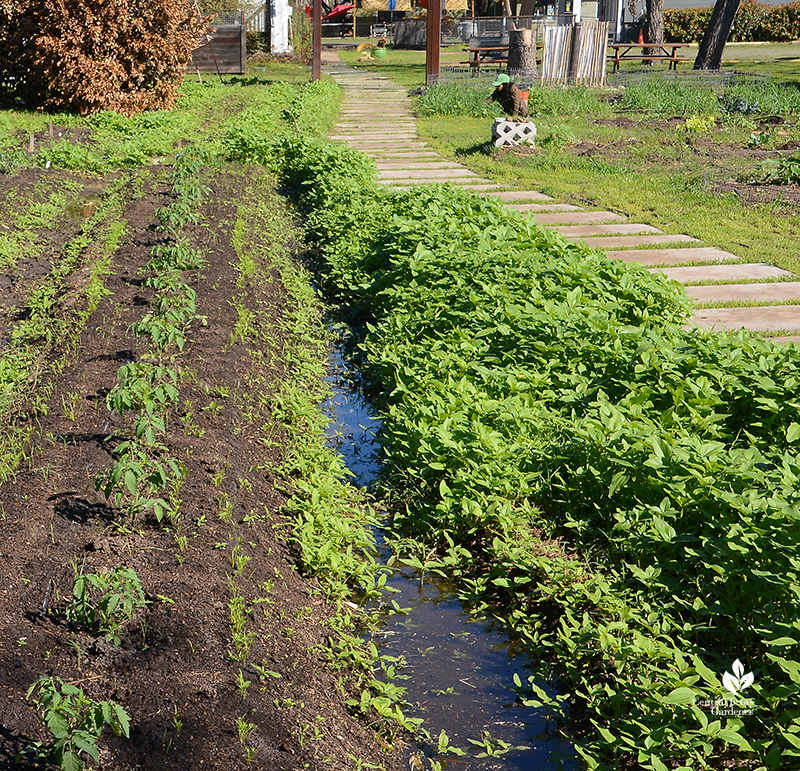 Sunflower seedlings near young tomato plants Este Garden Austin Texas Central Texas Gardener