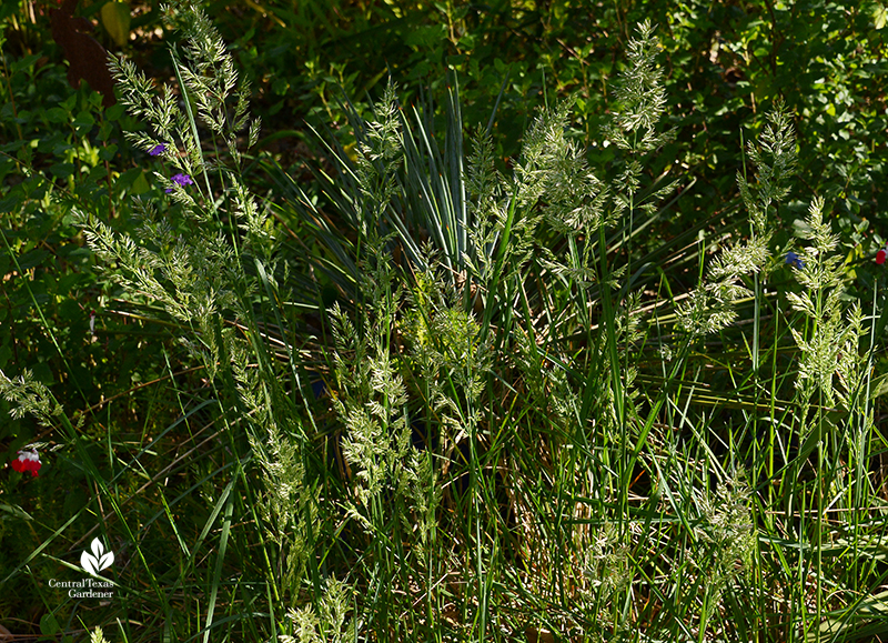 Texas bluegrass Poa arachnifera native grass for shade Central Texas Gardener