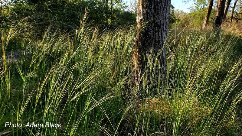 Texas winter grass Nassella leucotricha photo by Adam Black