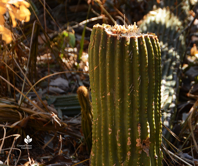cactus beheaded by Austin 2021 freeze sprouting new growth Central Texas Gardener