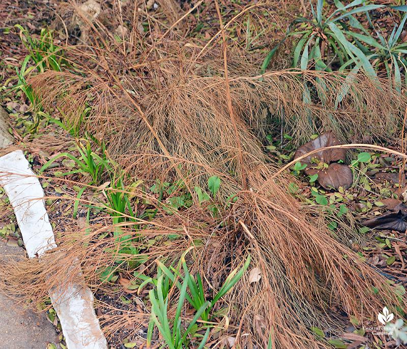firecracker fern after Austin 2021 freeze Central Texas Gardener