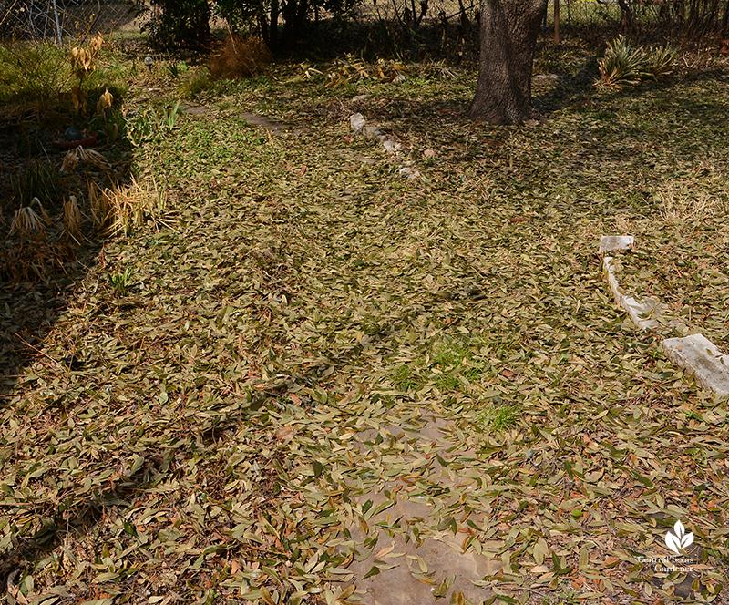 live oaks after Austin 2021 freeze Central Texas Gardener