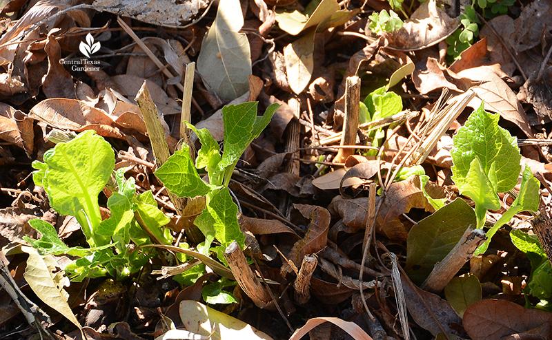 native frostweed leaves emerge after Austin 2021 freeze Central Texas Gardener