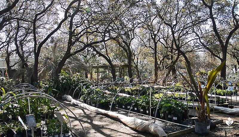 native oak trees at Barton Springs Nursery Central Texas Gardener