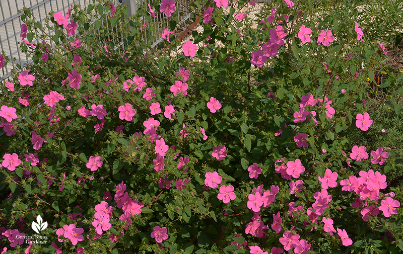 native perennial rock rose Pavonia lasiopetala Central Texas Gardener