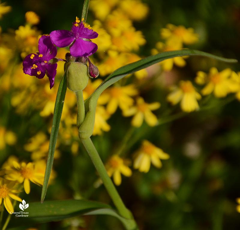native spiderwort Tradescantia gigantea flower with native golden groundsel Central Texas Gardener