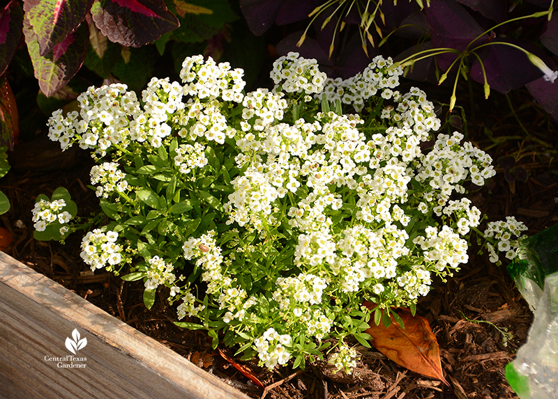 Alyssum fragrant flower for containers and garden beds La Otra Flora Laura Brennand garden Central Texas Gardener