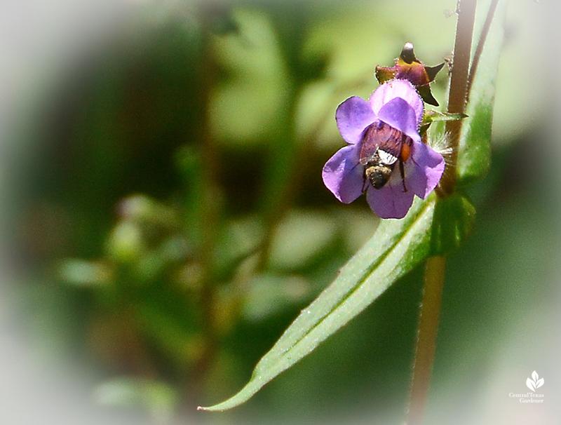 Bee inside Brazos penstemon flower native perennial Central Texas Gardener